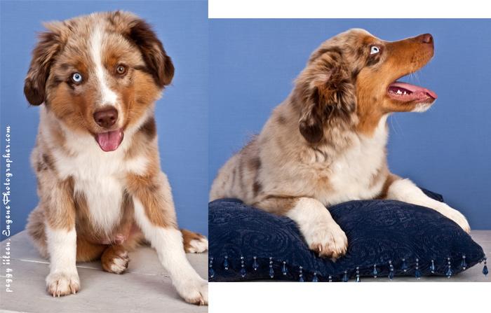 dog-portrait-studio-photographer-eugene-oregon-