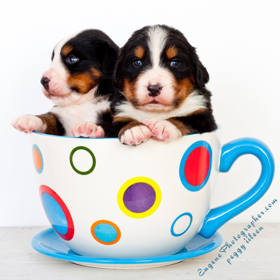 dog-photography-puppies-photographer-eugene-oregon-