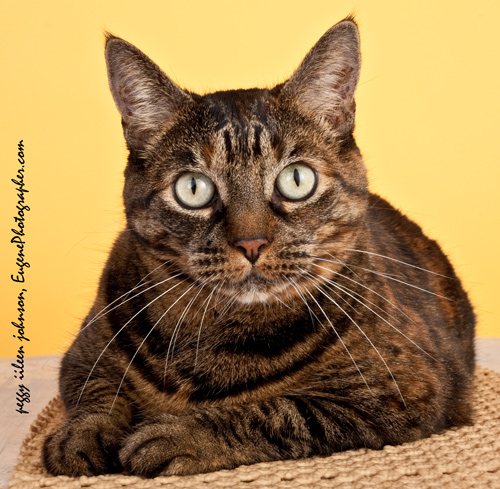 pet-photography-cat-photographer-studio-eugene-oregon-